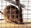 5 Melhores e Comprovados Métodos Para se Livrar dos Ratos: Repelir é Mais Eficaz do que Matar?