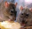 Matando ratos e camundongos com veneno para rato