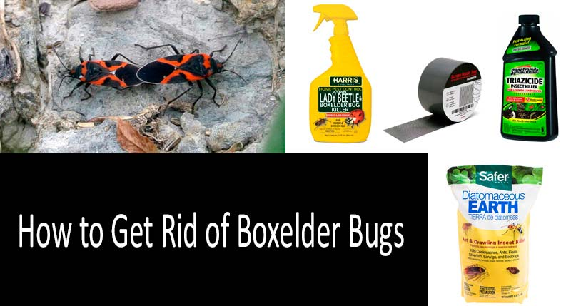 How To Get Rid Of Boxelder Bugs: photo
