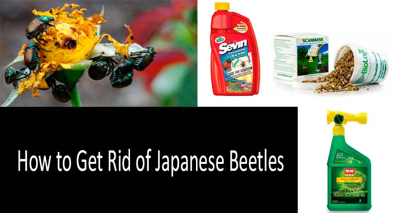How to get rid of Japanese beetles: photo