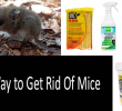 Best Way to Get Rid Of Mice: Killing and Poisoning