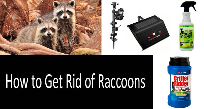 How to get rid of raccoons: view more