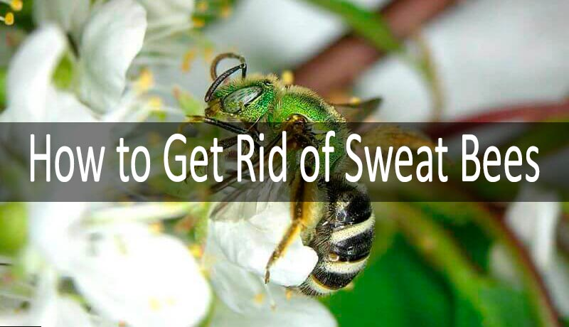 How to get rid of sweat bees: photo