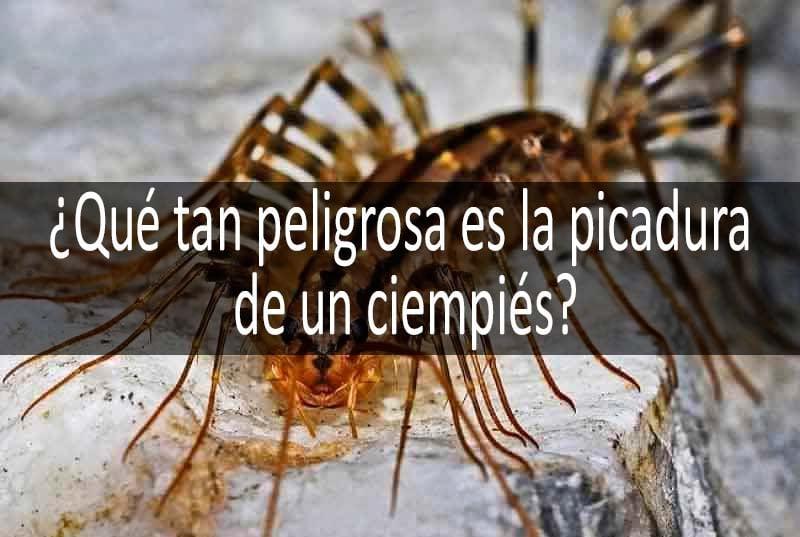 u00bflos ciempies son venenosos?: foto