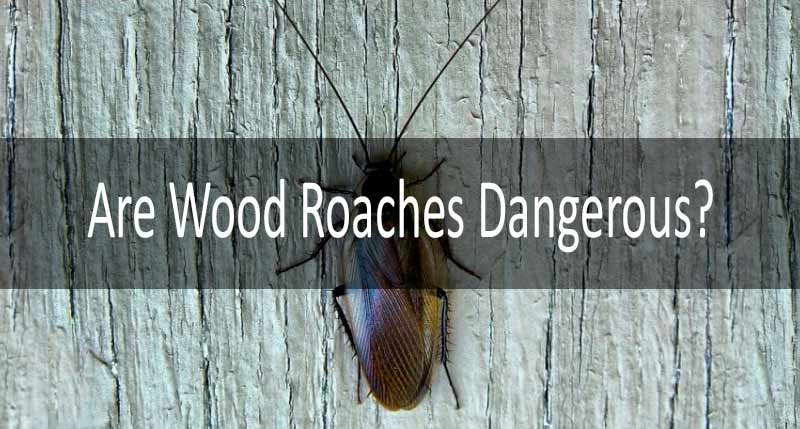 are wood roaches dangerous: photo