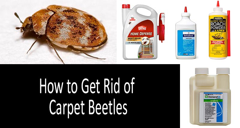 How to Get Rid of Carpet Beetles: TOP-7 Best Sprays, Traps and
