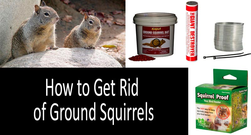 How To Get Rid Of Ground Squirrels: photo