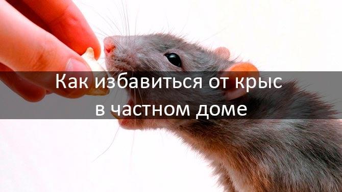 Избавляемся от крыс в частном доме: смотреть подробнее