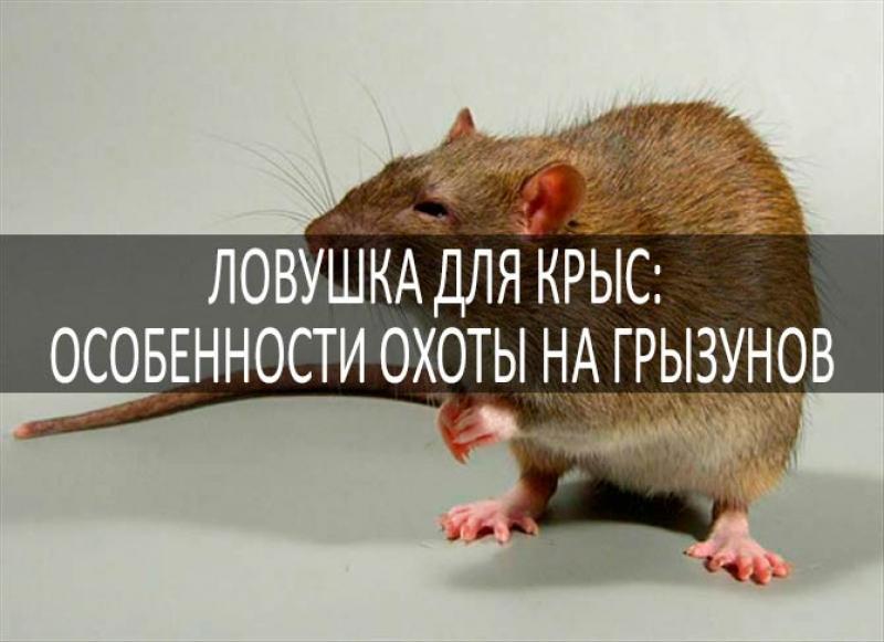 Ловушки для крыс: смотреть больше