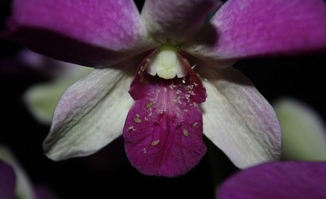 Методы борьбы с тлей на орхидее: узнать больше
