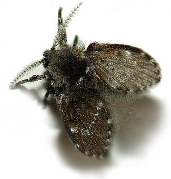 Как уничтожить канализационных мух: смотреть подробнее