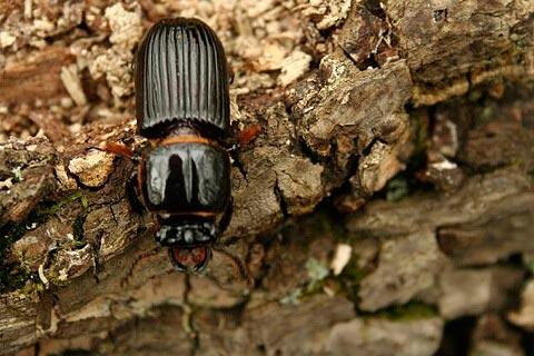 Боремся с жуком-древоточцем: смотреть подробнее