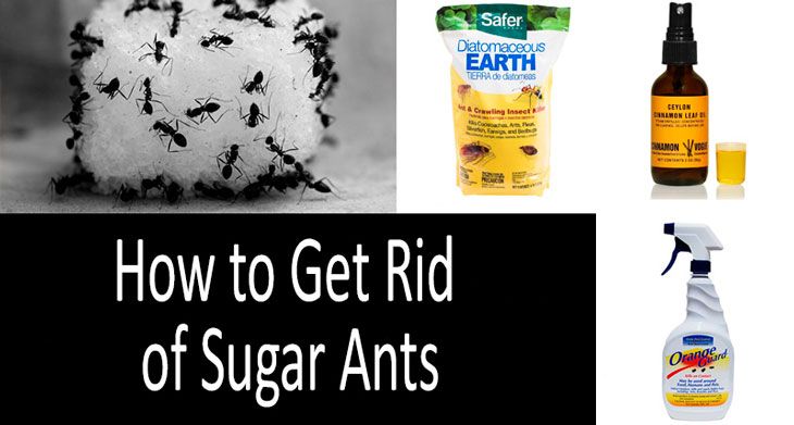 how to get rid of sugar ants top 9 ant killers. Black Bedroom Furniture Sets. Home Design Ideas