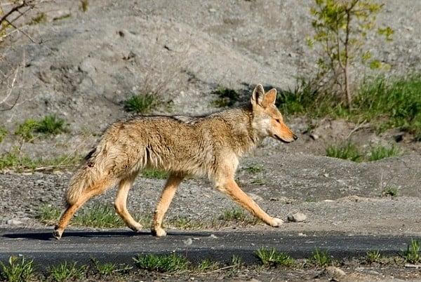 Nite Guard repels coyote