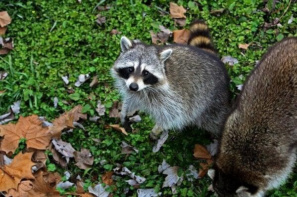 Nite Guard Solar Predator repels raccoons