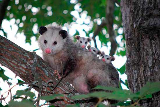 How to Get Rid of Possums: photo