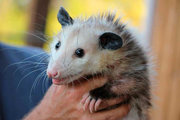 How to Get a Possum Out of Your House: photo