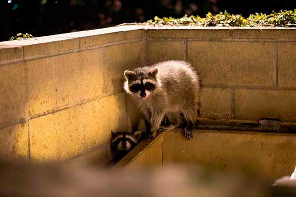 raccoon diseases