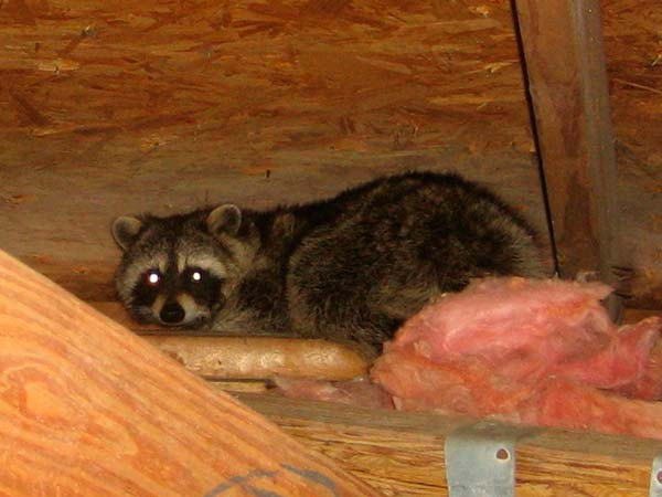 raccoon in attic: photo