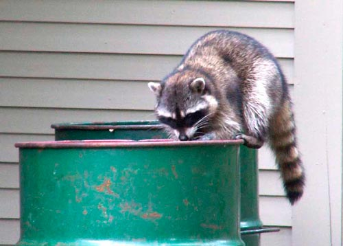 raccoon in the yard: photo