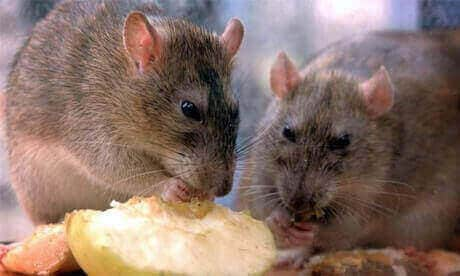 Killing rats and mice with rat poison