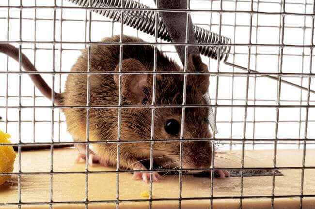 5 Best and Proven Ways of Getting Rid of Rats: Is Repelling More Effective than Killing?