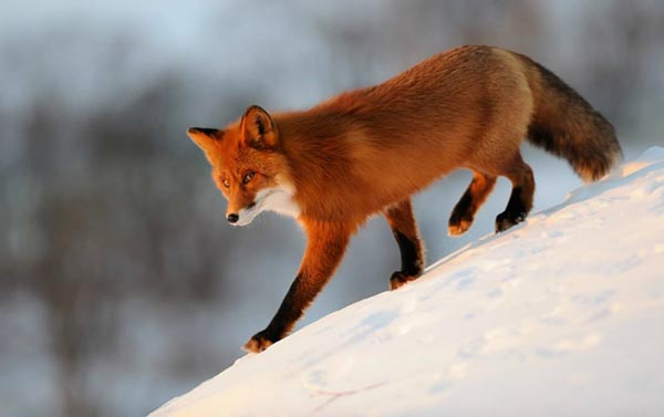 common kind of red foxes: photo