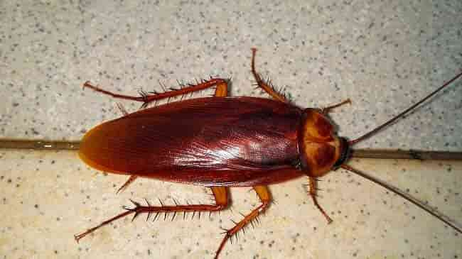 why are cockroaches dangerous: photo