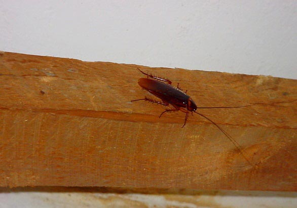 the American cockroach: photo
