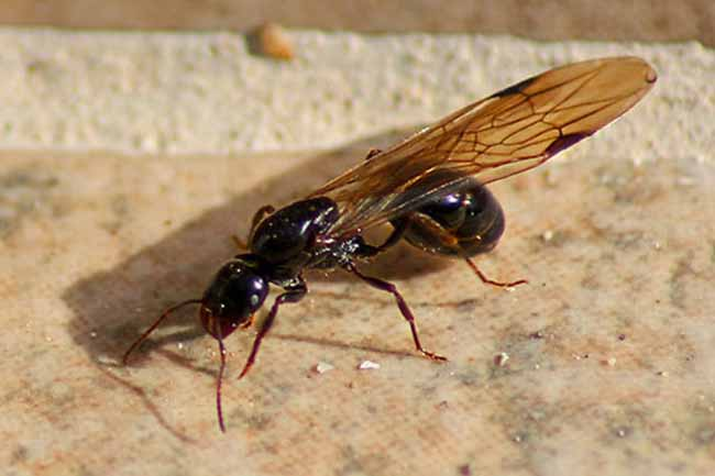 Как избавиться от крылатых муравьев: узнать больше