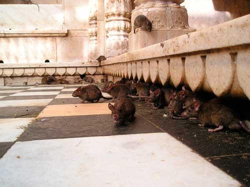отпугиватель крыс: фото