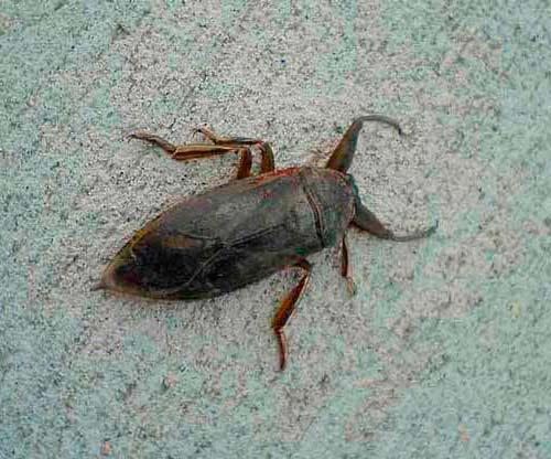 Water bug vs cockroach - photo#26