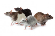 TOP 5 Rodent Control Tips: And What Are You Going to Do with Infestation?