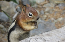 A Complete Guide to Getting Rid of Chipmunks:  Picking Traps, Bait, Repellents and Preventive Treatment