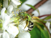 Everything You Should Know About Sweat Bee Killing, Trapping & Repelling