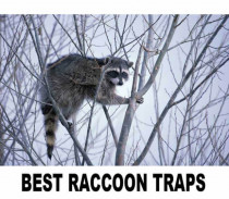 How to Choose a Raccoon Trap: A Comparative Review of 5 Popular Raccoon Traps