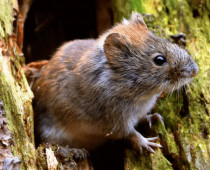 How to get rid of voles? Which is more efficient: a vole poison, a trap, a repellent or vole control methods?