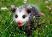 How to Get Rid Of a Possum: A Detailed Guide about the Methods and Possum Repellents