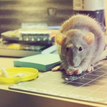 How to Get Rid of Rats Naturally – Lets Make it Possible