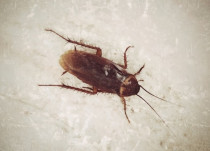 Do cockroaches bite? What are cockroach bites symptoms? What is the treatment for cockroach bites?