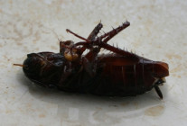 Cockroaches Facts that You Must Know to Combat the Creepy Creature