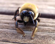 Let's Learn About Carpenter Bees And Other Types Of Bees