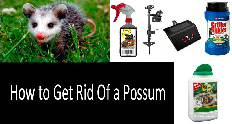 How To Get Rid Of Possums 5 Best Ways
