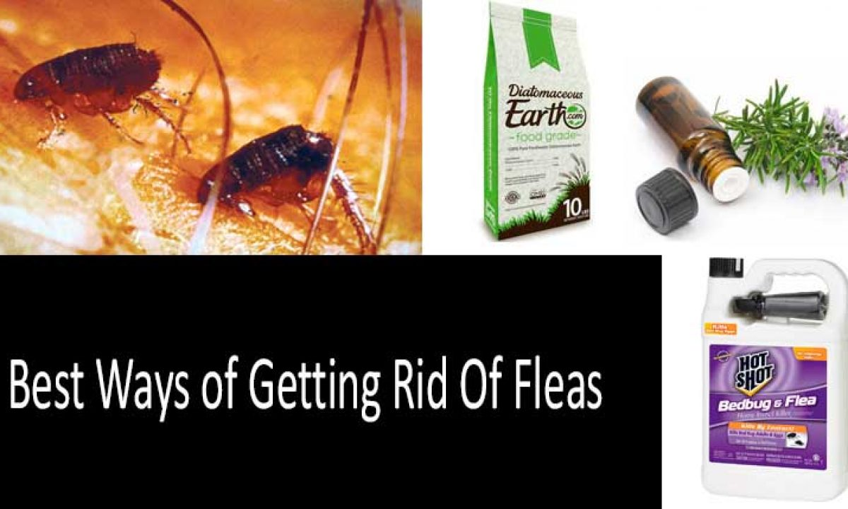 How To Get Rid Of Fleas In House And Yard Fast Complete Guidance