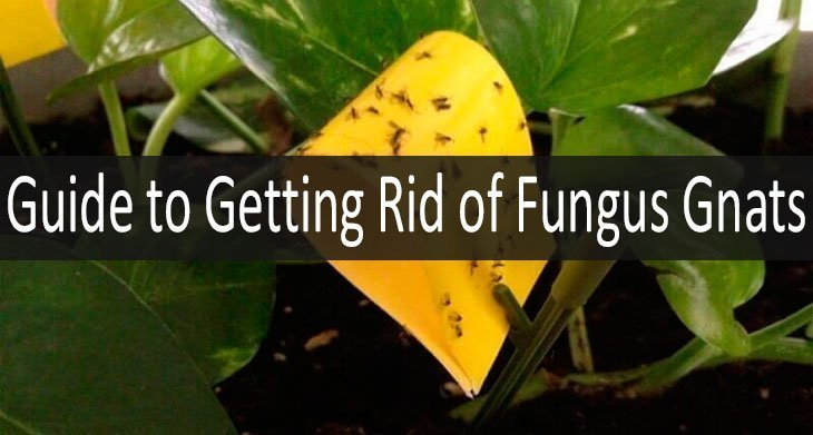 5 Best Ways To Get Rid Of Fungus Gnats